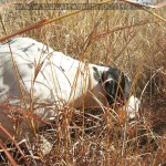 Train your dog, Dog training, pointer training, how to train my hunting dog