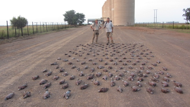 Wing shooting South Africa Pigeons and doves Beulah wingshooting